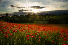 Poppy by Perrin Gregory.  The light, the red the sunbeams and all the luscious green.  This is truly eye-candy