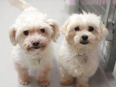 Shih Tzu Top 10 Dog Breeds 2013