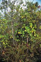 Varillal con arbolitos bajos del género Clusia, con un denso estrato herbáceo con Bromeliáceas.