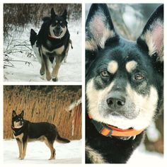 The Boss-man enjoying camp! #evasplaypupsPA #dogs #dogcamp #doggievacays #handsomeman #hikingdogs #dogsinnature #runfree #huskiesofinstagram #rottweilersofinstagram #dogsofinstagram #letitsnow #endlessmountains #mountpleasant #PA #pennsylvania