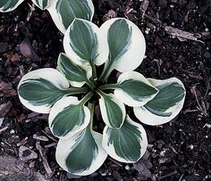 hosta frosted mouse ears - Google Search