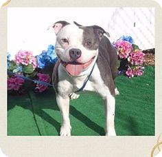 URGENT!!~~Marietta, GA - Staffordshire Bull Terrier Mix. Meet WALDO, a dog for adoption. http://www.adoptapet.com/pet/17744575-marietta-georgia-staffordshire-bull-terrier-mix