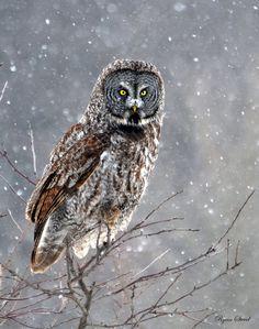 As the Snow Falls by CanadianRy on DeviantArt Pet Monsters, Snow Falls, Beast Creature, Great Grey Owl, Call Of Cthulhu, Owl Bird, Sword Art, Dark Art, Online Art Gallery