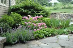 Timothy Lee Landscape Design surrounded this 'Endless Summer' hydrangea bush with nepeta, inkberry, viburnum and Siberian irises