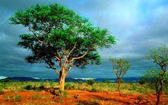 alberi-nel-parco-nazionale-kruger