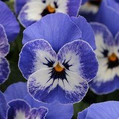 Sorbet Delft Blue viola seeds - Garden Seeds - Annual Flower Seeds