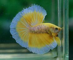 Perrrfect Yellow tiger butterfly Betta Fish, you think? Betta Fish Types, Betta Fish Tank, Beta Fish, Pretty Fish, Beautiful Fish, Colorful Fish, Tropical Fish, Freshwater Aquarium, Aquarium Fish