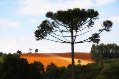 Araucaria tree - Brazil                  araucária