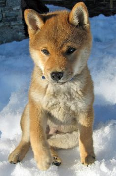 "Hi, my name is Yuki (""snow"" in Japanese) and I am a stubborn little Shiba. I Love Shibas <3"