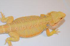 Carolina Classics Dragons