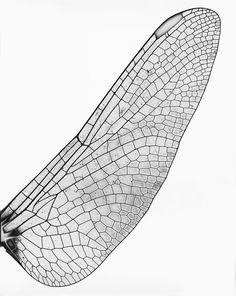 Vor allem für seine Naturaufnahmen baute Feininger neben Teleobjektiven auch Kameras, mit denen er seine Sujets wie unter einem Mikroskop fotografieren und so auf neue Weise sichtbar machen konnte, wie bei diesem Fotogramm eines Libellenflügels von 1935.