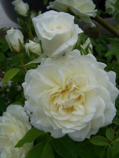 'Lamarque'- noisette rose, climbing, wonderful fresh lemon scent, white. Taken from my garden.