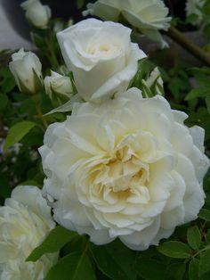 'Lamarque'- noisette rose, climbing, wonderful fresh lemon scent, white. Taken from my garden.