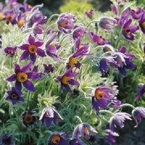 Pulsatilla Plant - Vulgaris at Suttons Seeds