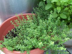 Grow Herbs Indoors - What You Need to Know