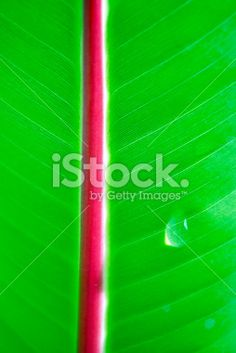Banana Leaf with Dew Drop Royalty Free Stock Photo Deep Photos, Floral Backgrounds, Dew Drops, Closer To Nature, Image Now, Are You Happy, Zen, Finding Yourself, Royalty Free Stock Photos
