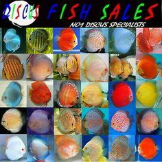 Discus Fish For Sale All Uk Bred No Imports Fully Licenced Discus Aquarium, Freshwater Aquarium Fish, Discus Fish For Sale, Aquariums For Sale, Cichlids, Easter Eggs, Exotic, King, Color