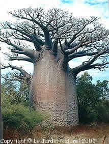 Baobab. Photo copyright Le Jardin Naturel 2000.