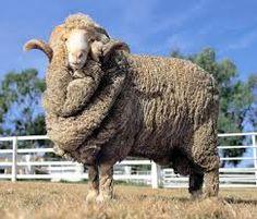 """Le mouton Mérinos. Cet animal puissant aux cornes retournées, est d'origine espagnole. Puis d'autres pays comme les USA, la Grande-Bretagne, la France en ont fait leur """"dada""""..."""