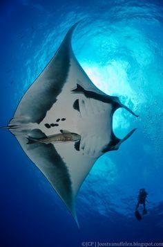 Giant male manta ray & diver Socorro Island