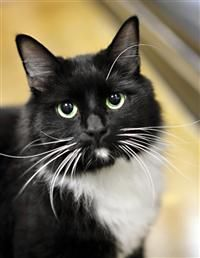 ADOPTED!! Meet Bella...Age:  Approx. 3 years...Gender:  Female...Breed:  DLH...Declawed:  no...Dog Friendly:  Yes...Cat Friendly:  Yes...Kid Friendly:  Yes...Boarding Location: Sterling VA Petsmart...Sweet Bella found herself homeless after her owner died suddenly. Bella loves warm laps and loves to be brushed. For more information or to meet Bella please contact Kelly at Homeless Animals Rescue Team (HART) in Fairfax VA at hart90office@gmail.com