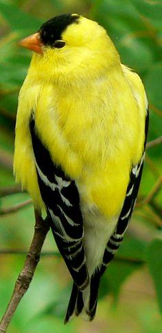American Goldfinch - Washington state bird (among other states)