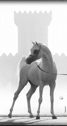 AJ Dinar  (WH Justice x Deska HJE) Arabian Horse