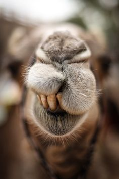 say Cheese to a kamel in Egypt. Animals And Pets, Baby Animals, Funny Animals, Cute Animals, Alpacas, Animal Original, Camel Animal, Tier Fotos, Funny Faces