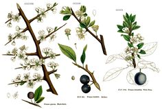 Sloe Plum (aka Blackthorn Bush) is said to be held sacred by Fearies. The Luantishees are Blackthorn Fearies, their festival is celebrated on November 11th.