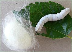 Silkworm and cocoon, with mulberry leaf. Photo by Eeva47, via Flickr