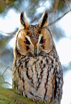 Owl by Volodymyr Burdyak