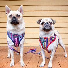 dizzydogcollars#dizzydogcollars #dogsofbrisbane #dogsofsydney #dogsofmelbourne #dogsofgoldcoast #dogsofaustralia #dogsofadelaide #dogsoftasmania #dogsofcanberra #dogmodel #pugsofinstagram #pug #pugsnotdrugs #pugsworld #australianowned #smallbusiness #puglife #dogsofperth #etsysellersofinstagram #dogcollar #dogharness #shopsmall #shopsmalllove #pugworld #dogleash #dogfashion #dogsofnewcastle #australianowned #dogcollars #etsyau #handmade