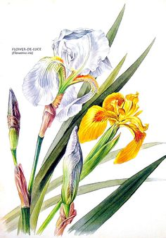 Hey, I found this really awesome Etsy listing at https://www.etsy.com/listing/103301288/florentine-iris-print-1969-vintage