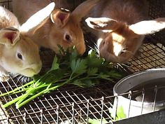 NATURALLY FEEDING RABBITS « Rise and Shine Rabbitry - some good ideas for feeding bunnies