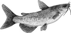 free catfish drawing | Pen and ink line art drawing of a Channel Catfish (Ictalurus punctatus ...