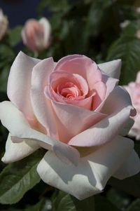 Frances Meilland - Hybrid Tea | Listen to our interview with Kristen Smith of Star Roses on Rose Chat Radio http://www.blogtalkradio.com/rosechat/2013/02/02/star-roses-new-rose-introductions-for-2013