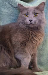 Mia (in foster care) is an adoptable Nebelung Cat in Metairie, LA. Mia is a beautiful girl seeking a forever home. She's a laid-back girl with a sweet disposition. Mia has been fostered with other cat...