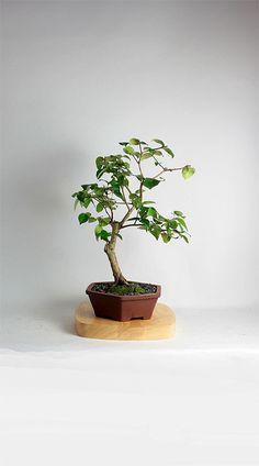 1000 images about bonsai on pinterest bonsai trees juniper bonsai and pine bonsai - Romanian cherry tree varieties ...
