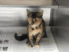 ADOPTED - Shirley - URGENT - PIKE COUNTY ANIMAL SHELTER in Pikeville, Kentucky - ADOPT OR FOSTER - Young Female Tortoiseshell Domestic SH Mix