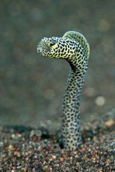 Curious Eel.. I find the moray eel usually so curious whenever encountered on a dive.