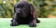 Cachorro Labrador Retriever Helvet Can