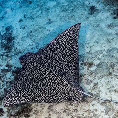 Reasons Why You Should Visit Belize In 2017 Underwater Creatures, Ocean Creatures, Underwater World, Spotted Eagle Ray, Beautiful Sea Creatures, Life Aquatic, Sea And Ocean, Ocean Life, Softies