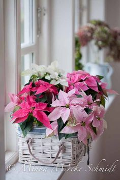 Poinsettias in a lovely white basket