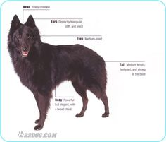Belgian Shepherd Dog :))