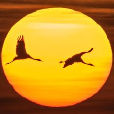 Migrating cranes fly past the sun during sunset near Straussfurt, central Germany. The cranes rest in central Germany on their way from breeding places in the north to their wintering grounds in the south Watercolor Sunset, Wonders Of The World, Monochrome, Egypt, Past, Beautiful Pictures, Birds, History, Instagram Posts