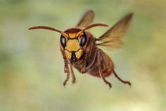Hornisse im Flug! #Makrofotografie #Makro #Insekten #natur #Fotografie