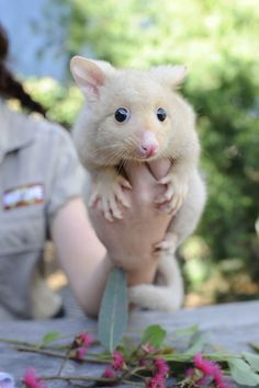 Behold the GOLDEN Brushtail Possum - a rare color variation resulting from a mutation that affects melanin production.