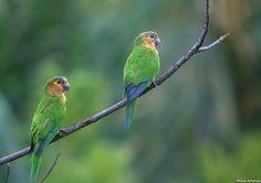 Brown-throated Parakeet (Aratinga pertinax) / Коричневощёкая аратинга