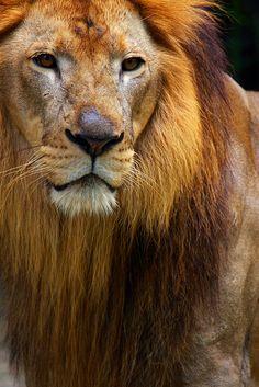 wild-at-heaart:  Raja singa by zulbaning on Flickr.