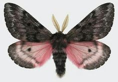 Pink gray fuzzy moth with large feelers